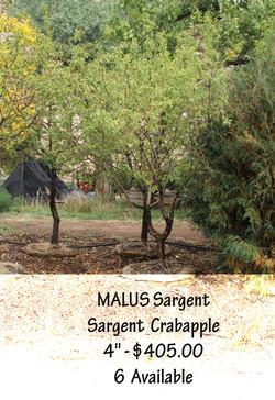 Sargent  Crabapple