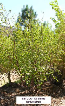 Native Birch