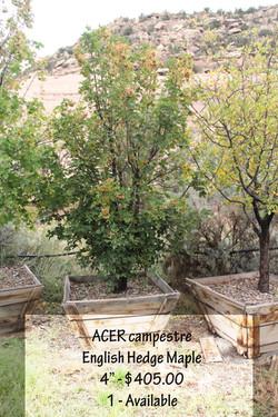 English Hedge Maple