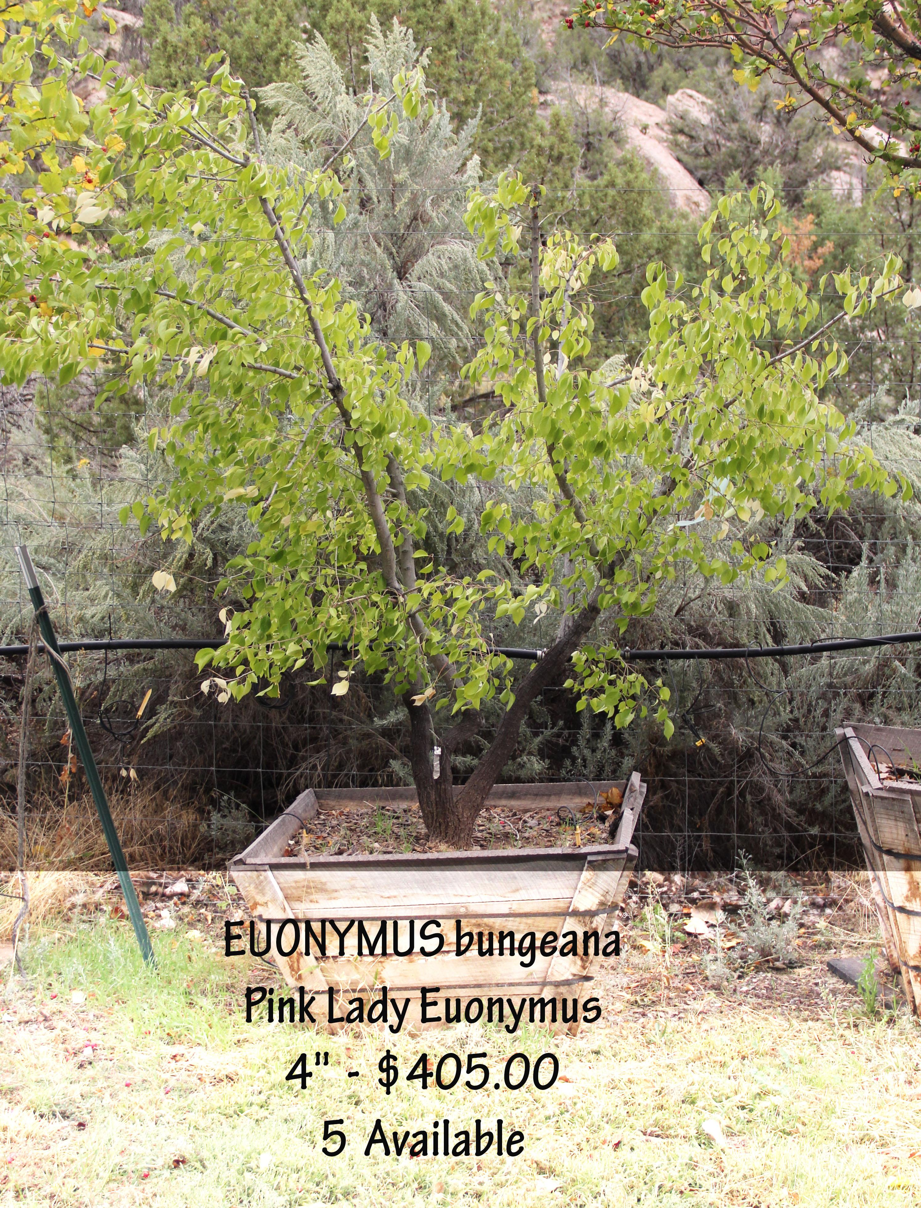 Pink Lady Euonymus