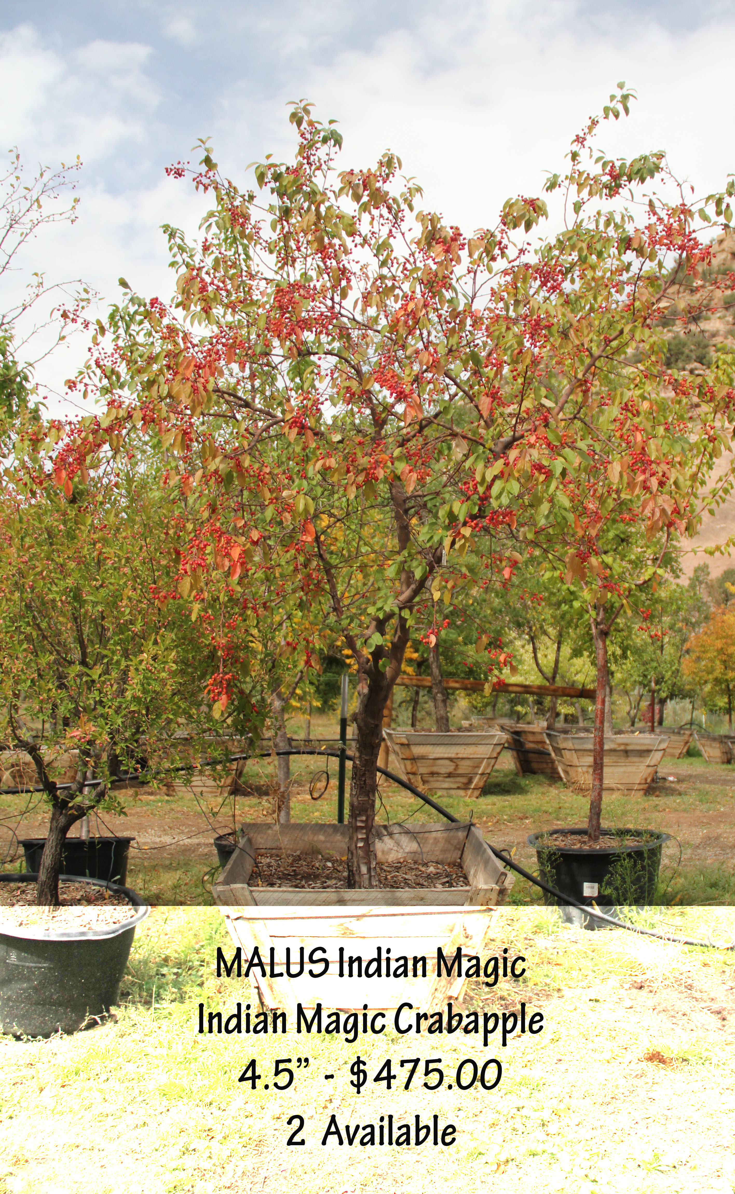 Indian Magic Crabapple