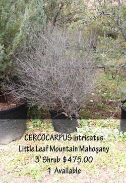Little Leaf Mountain Mahogany
