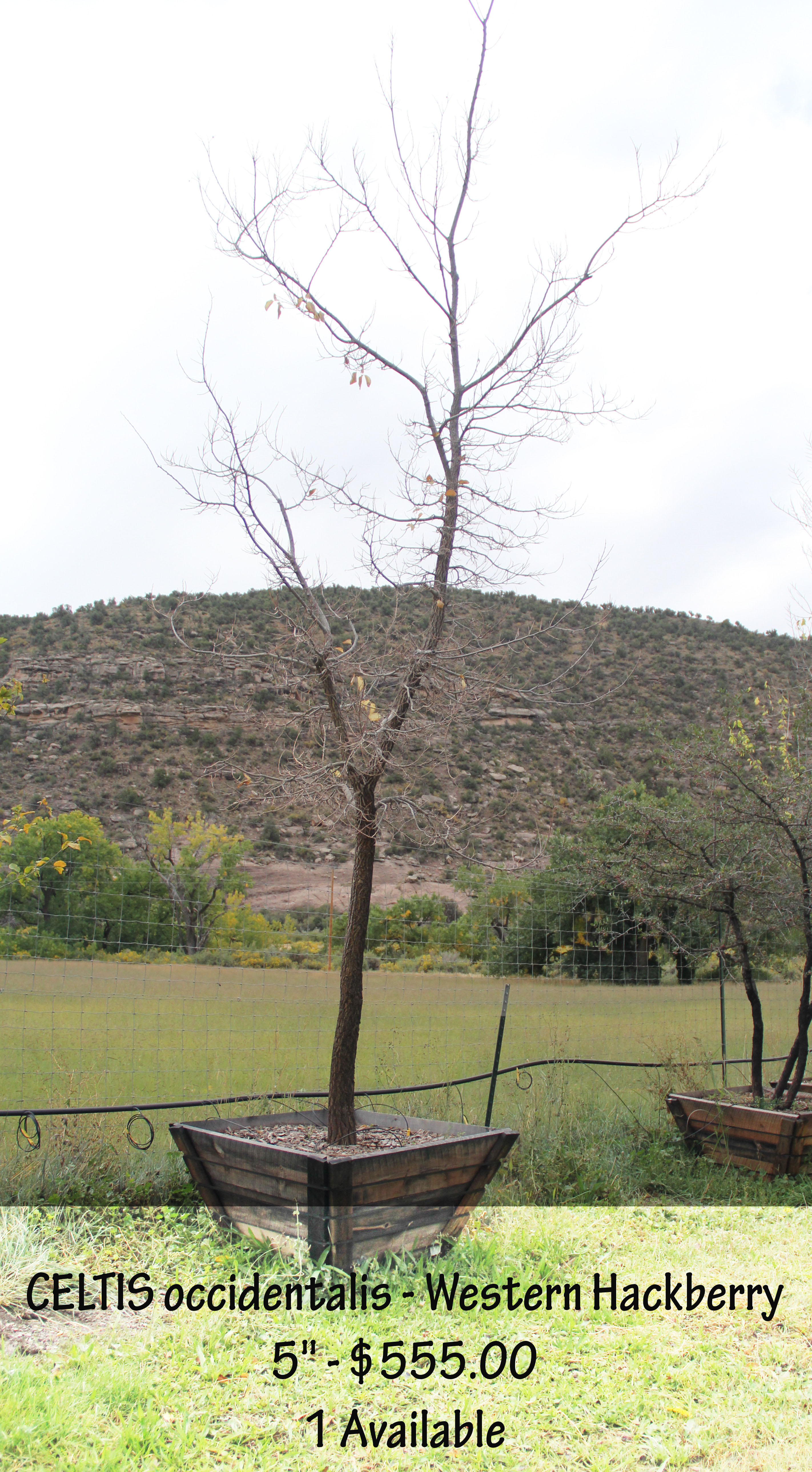 Western Hackberry