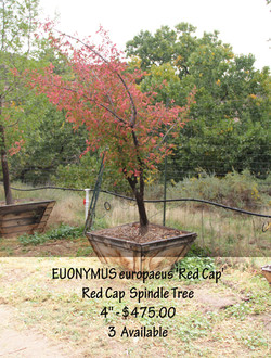 Red Cap Spindle Tree