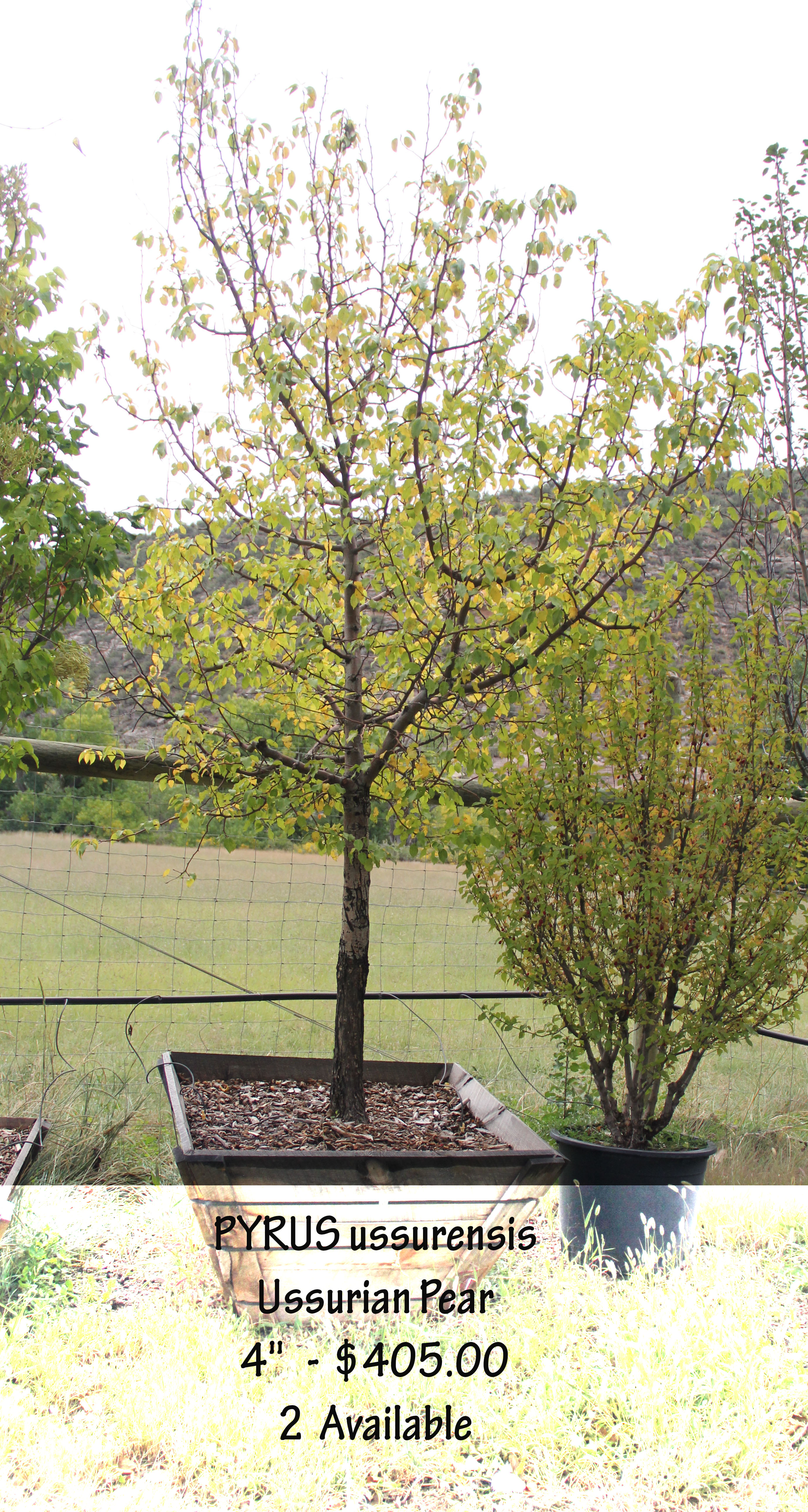 Ussurian Pear