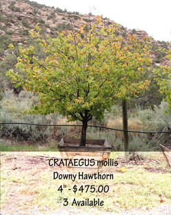 Downy Hawthorn