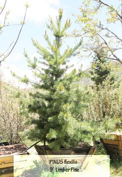 Timber Pine