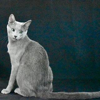 unnamedSire Royalblueusa Rusputin Of Blu