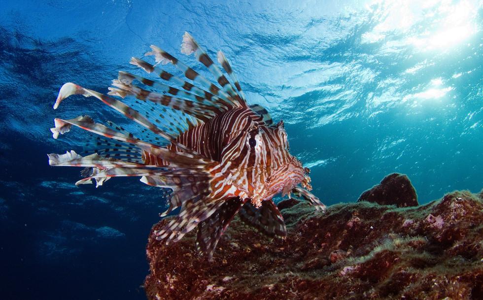 Rotfeuerfisch / Indopazifik