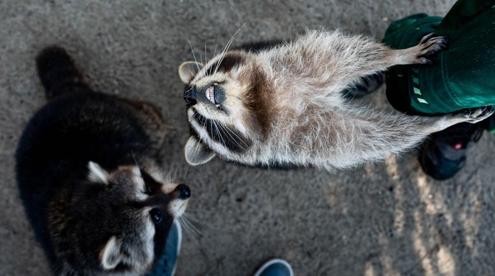 Waschbären im Tierpark Neumünster