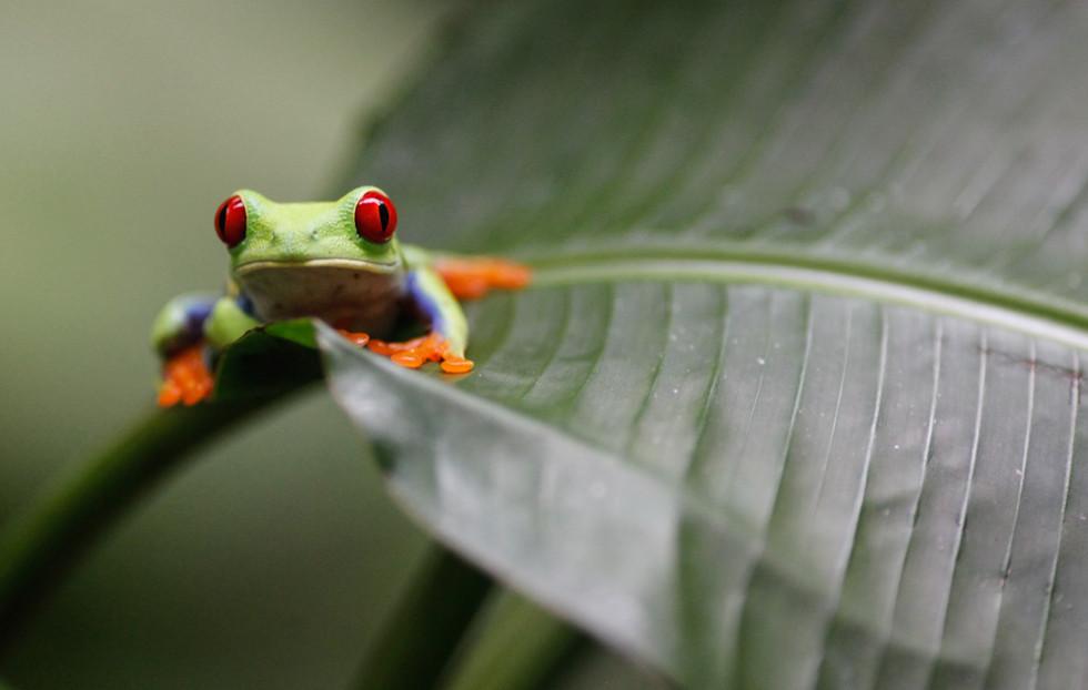 Pfeilgiftfrosch / Costa Rica