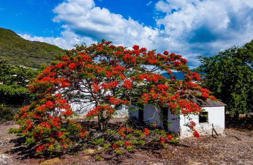 Feuerbaum auf Mauritius