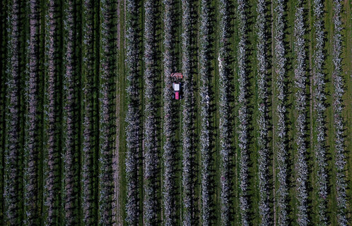 Apfelfelder - Altes Land