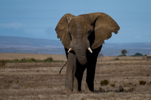 Afrikanischer Elefant / Südafrika