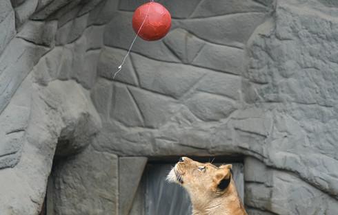 Löwin als Fußballfan