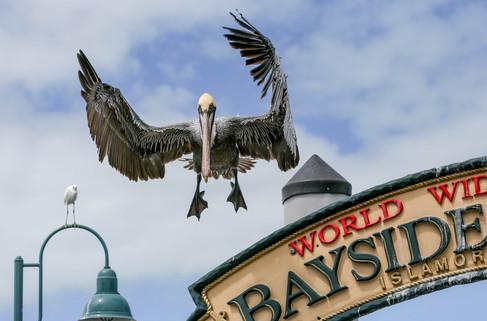 Pelikan auf den Florida Keys