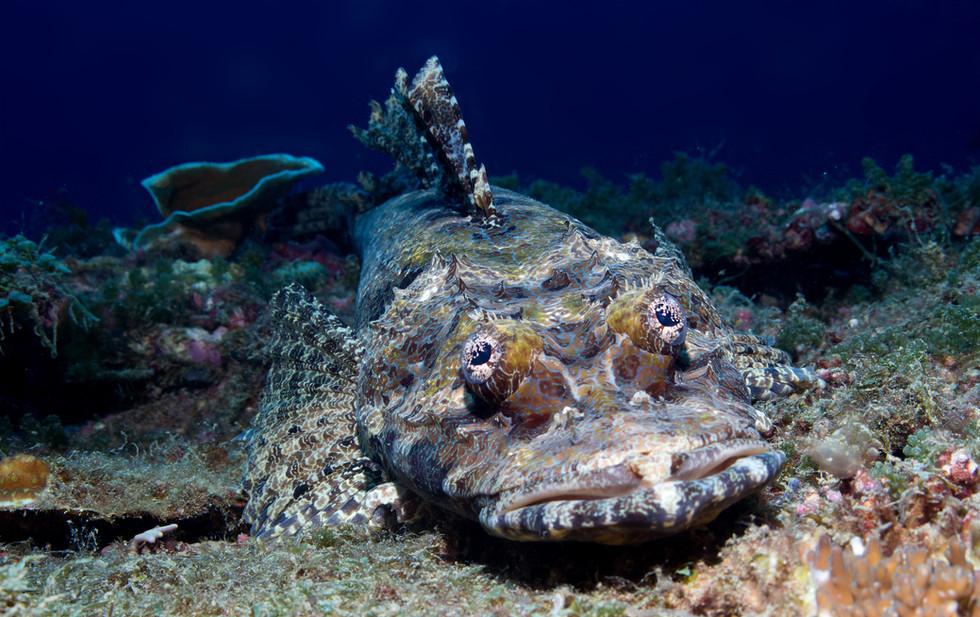 Krokodilfisch / Indopazifik