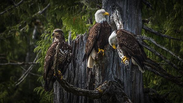 bald-eagle-3867290.jpg