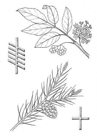 8 alder and pine .jpg