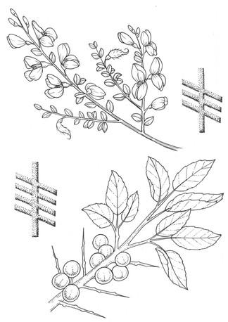 7 broom and blackthorn.jpg