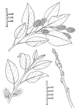 2 alder and willow.jpg