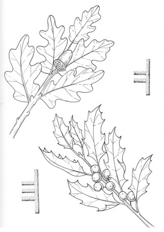 4 oak and holly.jpg