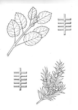 10 aspen and yew .jpg