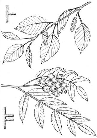1 birch and rowan.jpg