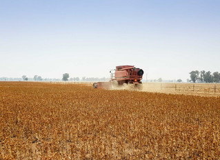 Safflower success - New Australian crop variety provides exciting prospects for grain growers