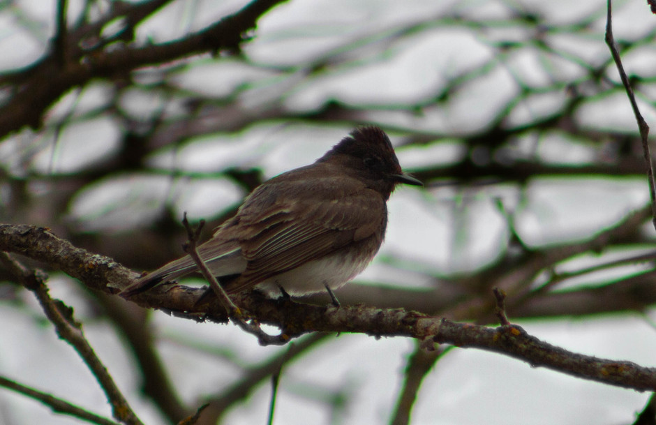Black Phoebe at the Nelson Waterfront