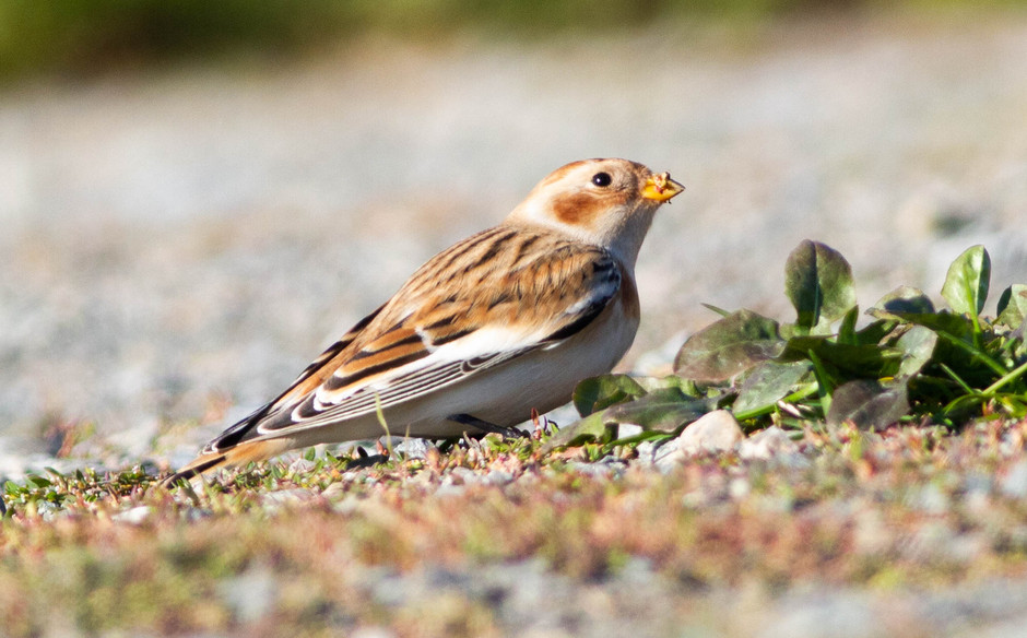 Snow Bunting and American Tree Sparrows
