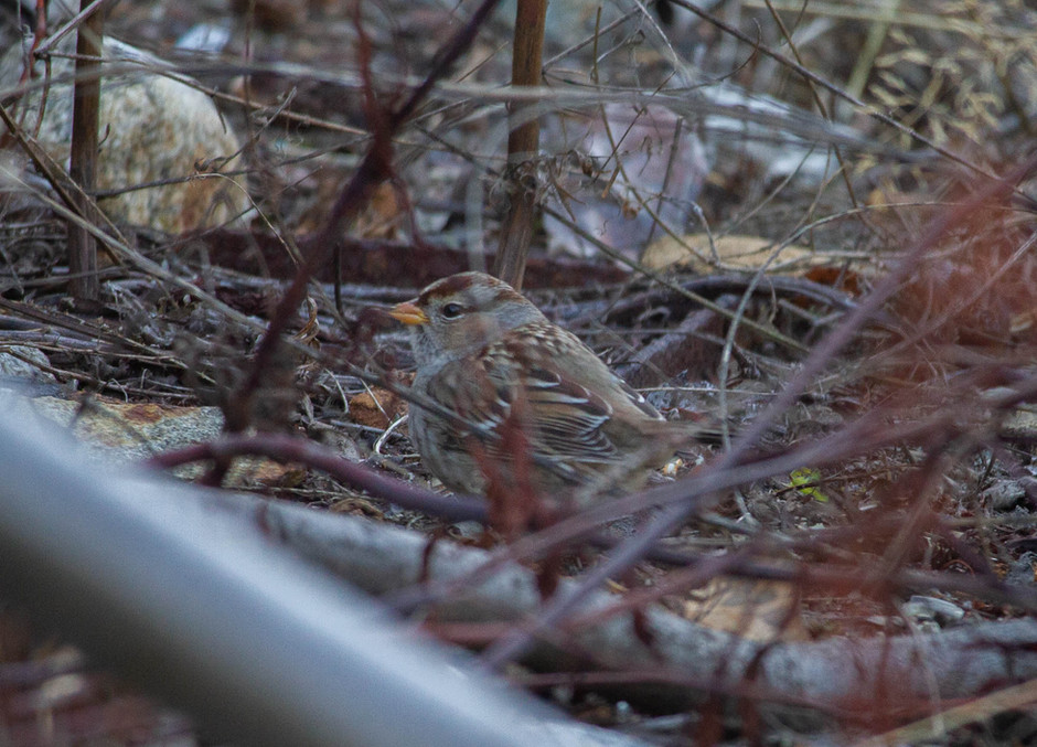Late White-crowned Sparrow