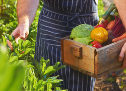 Chef harvesting fresh produce off the lo