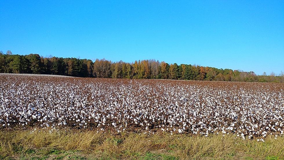 nc-cottonfield-01_edited.jpg