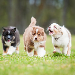 Australian shepherd puppies playing outdoors_edited.jpg