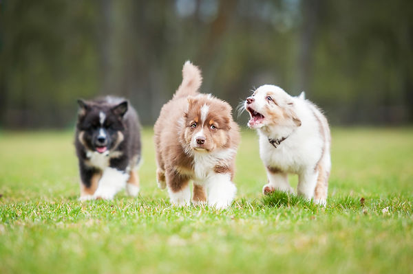 Australian shepherd puppies playing outd