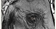olifant-oog-368x196.jpg