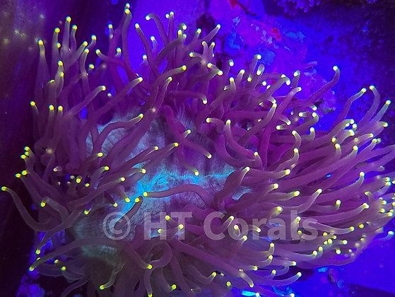 Yellow TIp Elegance Coral LG WYSIWYG