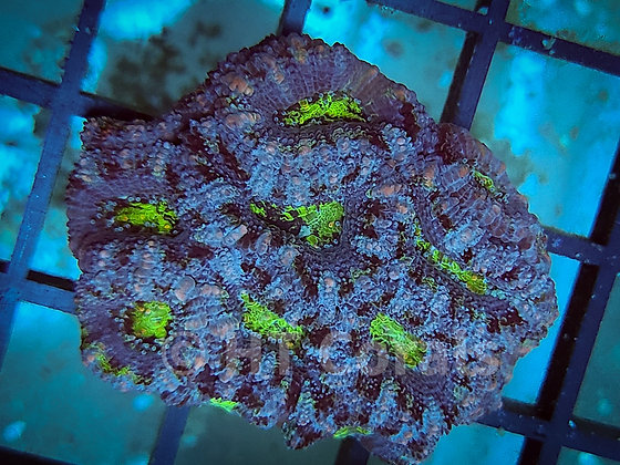 Silver Stripe Green Mouth Acan WYSIWYG Colony