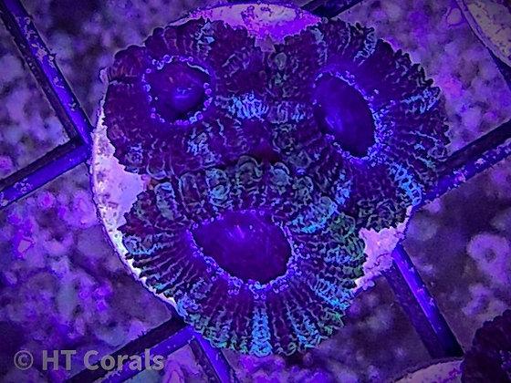 Purple Barney Acan