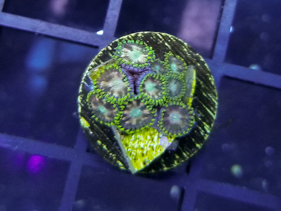 Twinkle Toes Zoa (Multiple Price Options)