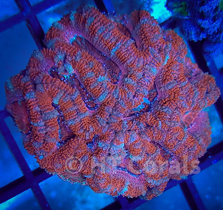 Red Pink Ring Acan WYSIWYG Colony