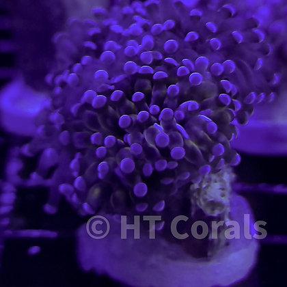 Purple Blue Tip Cristata Torch Singles