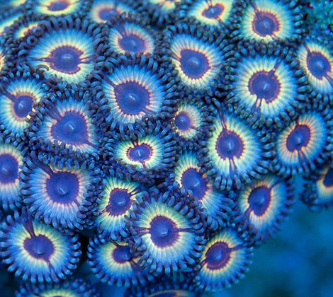 Sonic Flare Zoa (Multiple Price Options)