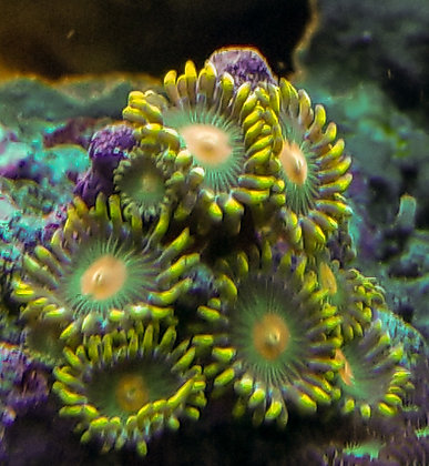 Green Bay Packers Zoa (Multiple Price Options)
