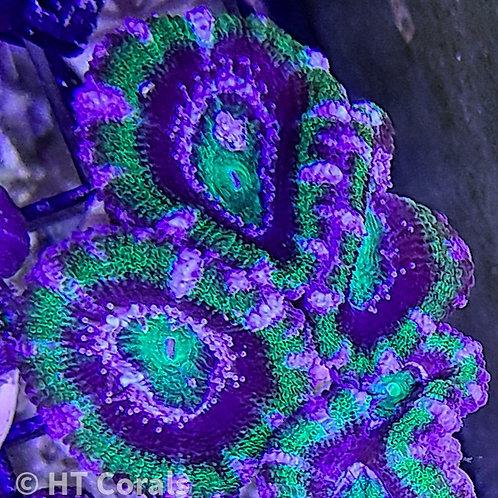 Purple Ring Green Acan