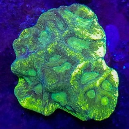 Toxic Splatter Goniastrea wysiwyg