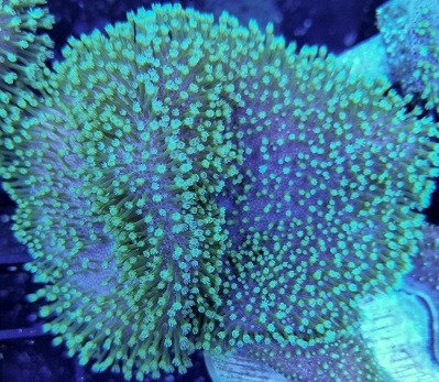 Green Polyp Toadstool Leather coral