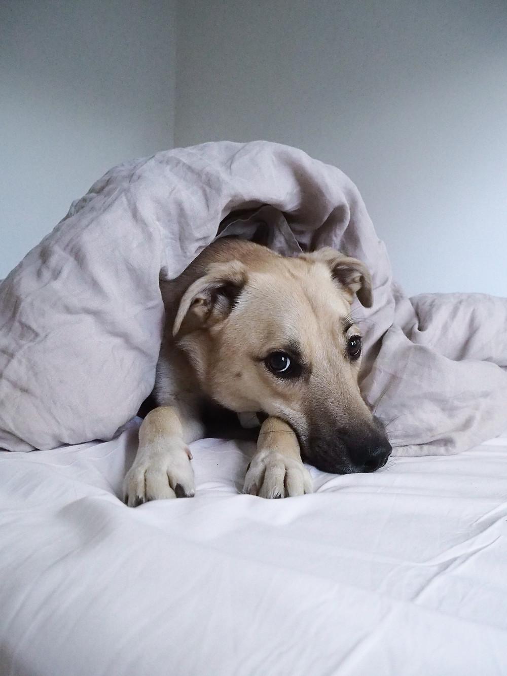 rescue-koira