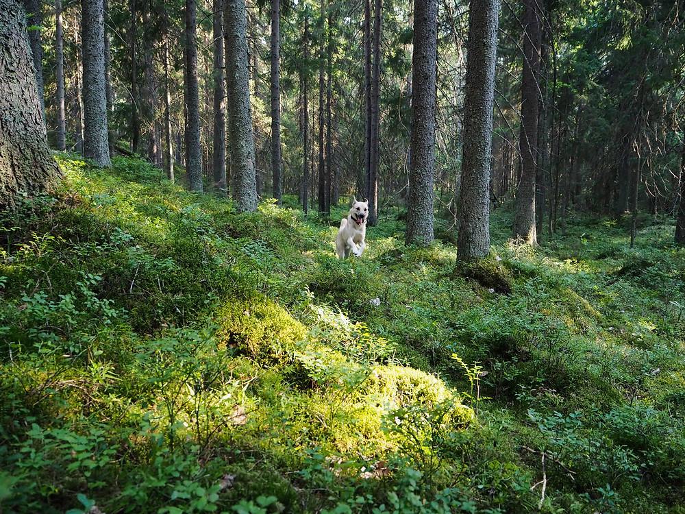 Koira juokseen metsässä